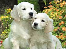 Golden Retriever Best Dogs Breeds